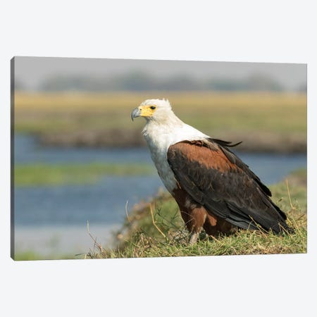 Africa, Botswana, Chobe National Park. Close-up of fish eagle on grass.  Canvas Print #JYG325} by Jaynes Gallery Canvas Print