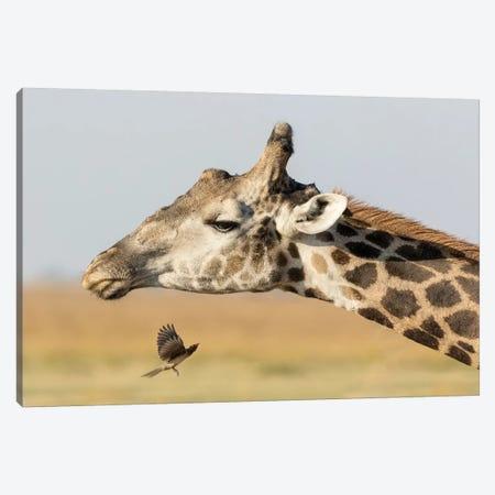 Africa, Botswana, Chobe National Park. Close-up of giraffe neck with oxpecker bird.  Canvas Print #JYG326} by Jaynes Gallery Canvas Print