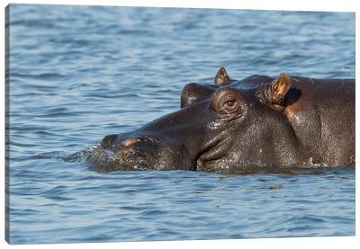 Africa, Botswana, Chobe National Park. Hippopotamus's head above water's surface.  Canvas Art Print