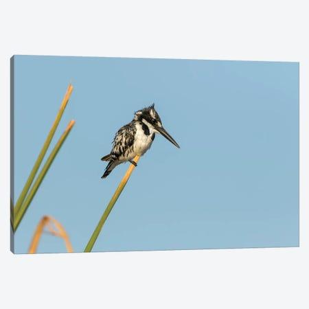 Africa, Botswana, Chobe National Park. Pied kingfisher on papyrus stem.  Canvas Print #JYG331} by Jaynes Gallery Canvas Print