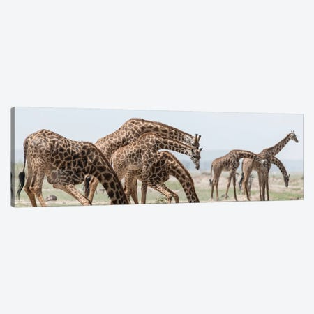 Africa, Kenya, Amboseli National Park. Close-up of giraffes drinking. Canvas Print #JYG341} by Jaynes Gallery Canvas Art