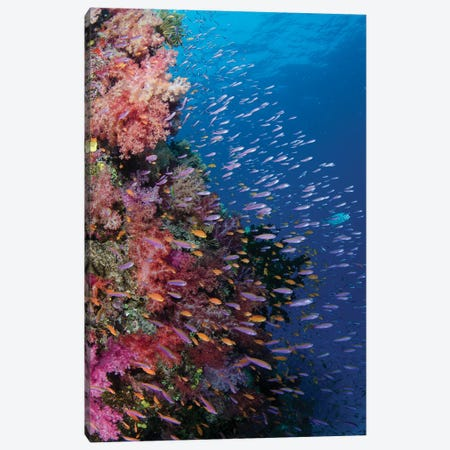 Fiji. Reef with coral and Anthias III Canvas Print #JYG34} by Jaynes Gallery Canvas Artwork