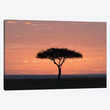 Africa, Kenya, Amboseli National Park. Sunrise backlights umbrella thorn acacia tree. Canvas Print #JYG354} by Jaynes Gallery Canvas Wall Art