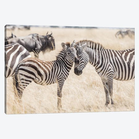 Africa, Kenya, Maasai Mara National Reserve. Adult and juvenile zebras. Canvas Print #JYG355} by Jaynes Gallery Canvas Wall Art