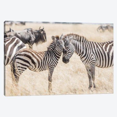 Africa, Kenya, Maasai Mara National Reserve. Adult and juvenile zebras. Canvas Print #JYG355} by Jaynes Gallery Canvas Wall Art