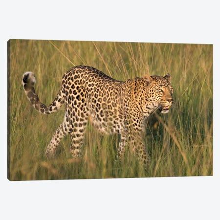Africa, Kenya, Maasai Mara National Reserve. Close-up of walking leopard. Canvas Print #JYG357} by Jaynes Gallery Canvas Art
