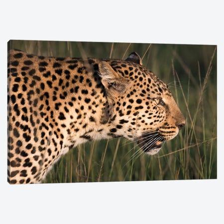 Africa, Kenya, Maasai Mara National Reserve. Close-up of walking leopard. 3-Piece Canvas #JYG358} by Jaynes Gallery Canvas Art Print