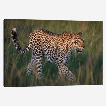 Africa, Kenya, Maasai Mara National Reserve. Close-up of walking leopard. 3-Piece Canvas #JYG359} by Jaynes Gallery Canvas Print