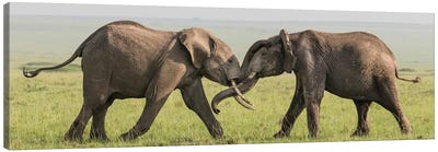 Africa, Kenya, Maasai Mara National Reserve. Elephants greeting. Canvas Art Print