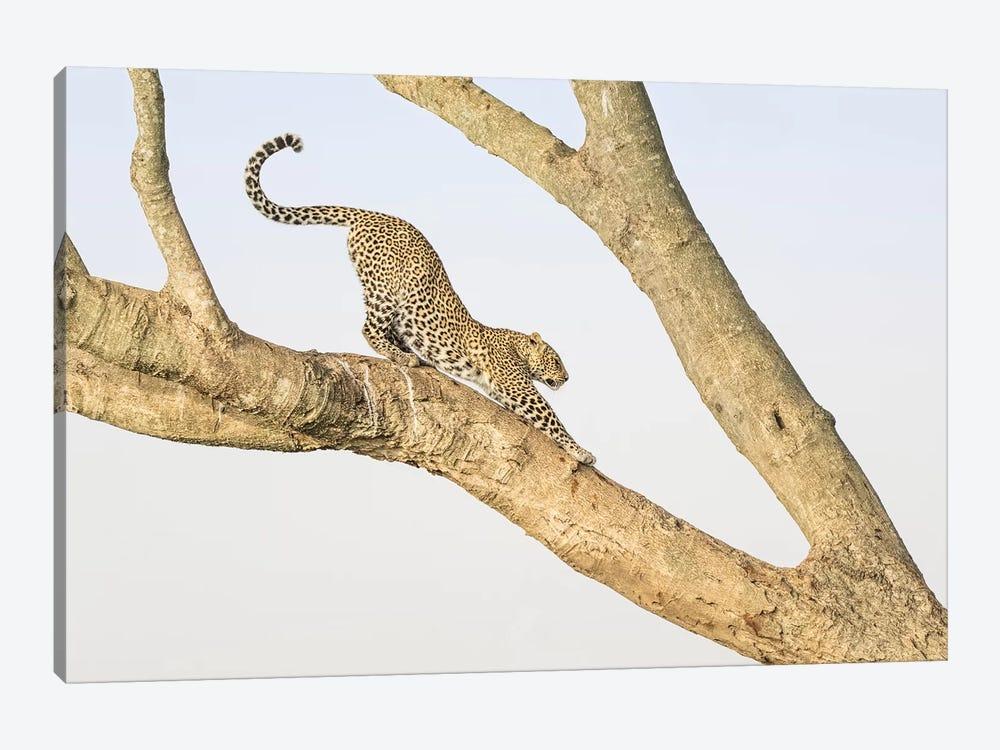 Africa, Kenya, Maasai Mara National Reserve. Leopard stretching in tree. by Jaynes Gallery 1-piece Canvas Print