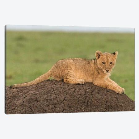 Africa, Kenya, Maasai Mara National Reserve. Lion cub on termite mound. Canvas Print #JYG364} by Jaynes Gallery Art Print
