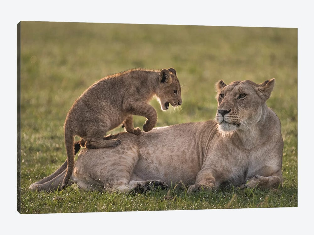 Africa, Kenya, Maasai Mara National Reserve. Lion cub playing with lioness. by Jaynes Gallery 1-piece Canvas Art Print