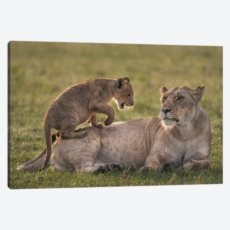 Africa, Kenya, Maasai Mara National Reserve. Lion cub playing with lioness. Canvas Print #JYG365} by Jaynes Gallery Canvas Print