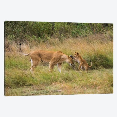Africa, Kenya, Maasai Mara National Reserve. Lion cub playing with mother. Canvas Print #JYG366} by Jaynes Gallery Canvas Print