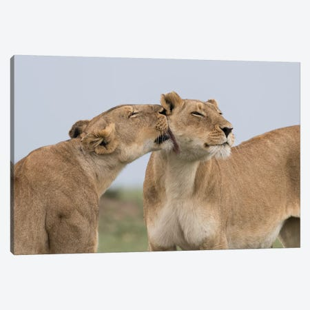 Africa, Kenya, Maasai Mara National Reserve. Lioness interaction. Canvas Print #JYG368} by Jaynes Gallery Canvas Artwork