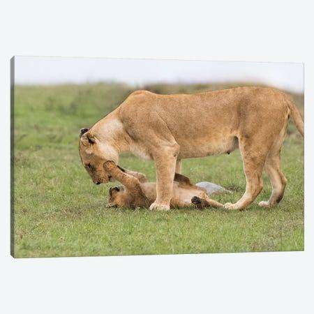 Africa, Kenya, Maasai Mara National Reserve. Lioness playing with cub. Canvas Print #JYG369} by Jaynes Gallery Canvas Wall Art