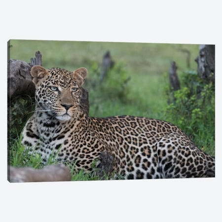 Africa, Kenya, Maasai Mara National Reserve. Resting leopard. Canvas Print #JYG371} by Jaynes Gallery Art Print