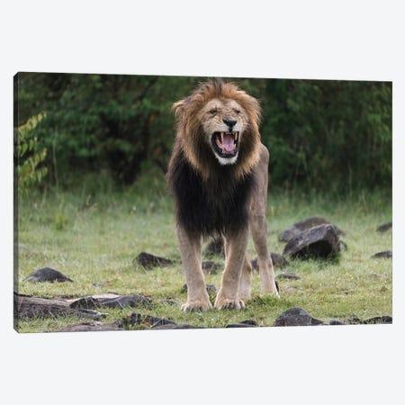 Africa, Kenya, Maasai Mara National Reserve. Snarling male lion. Canvas Print #JYG373} by Jaynes Gallery Canvas Art Print