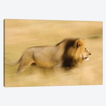 Africa, Kenya, Maasai Mara. Motion blur of walking male lion. Canvas Print #JYG378} by Jaynes Gallery Art Print