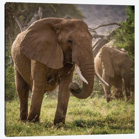 Africa, Kenya. African elephants feeding. Canvas Print #JYG380} by Jaynes Gallery Canvas Wall Art