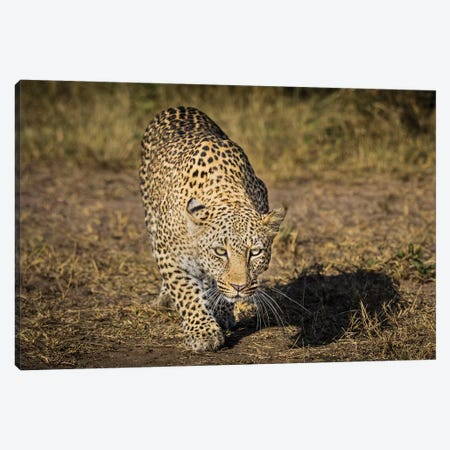 Africa, Kenya. Leopard ready to attack. Canvas Print #JYG384} by Jaynes Gallery Art Print