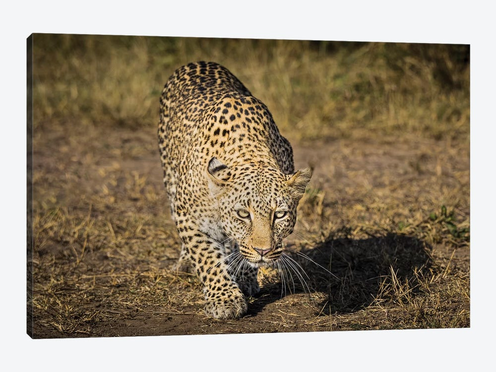 Africa, Kenya. Leopard ready to attack. by Jaynes Gallery 1-piece Canvas Art