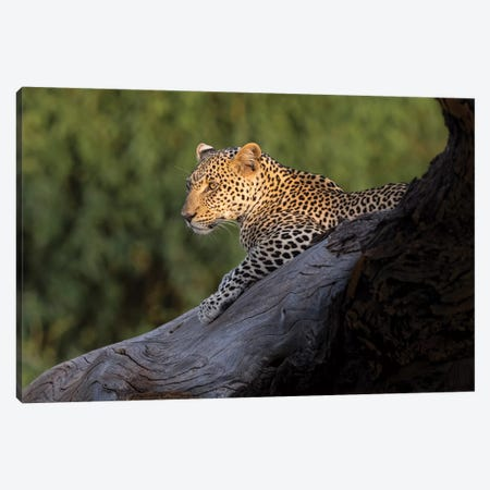 Africa, Kenya. Leopard resting on dead tree. Canvas Print #JYG385} by Jaynes Gallery Canvas Art Print