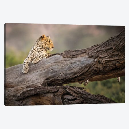 Africa, Kenya. Leopard resting on dead tree. Canvas Print #JYG386} by Jaynes Gallery Art Print