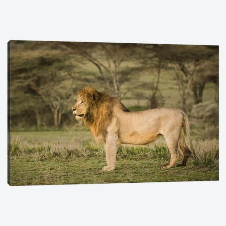 Africa, Tanzania, Ngorongoro Conservation Area. Male lion in profile. Canvas Print #JYG393} by Jaynes Gallery Canvas Print