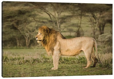 Africa, Tanzania, Ngorongoro Conservation Area. Male lion in profile. Canvas Art Print