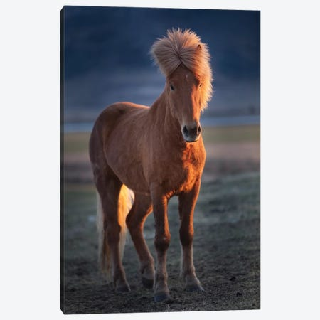 Iceland. Icelandic horse at sunset. Canvas Print #JYG39} by Jaynes Gallery Art Print