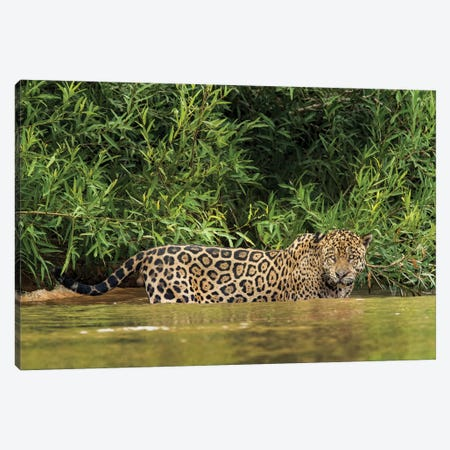 Brazil, Pantanal. Wild jaguar in water. Canvas Print #JYG3} by Jaynes Gallery Canvas Art Print