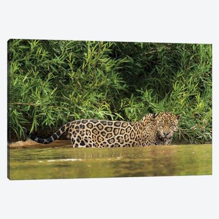 Brazil, Pantanal. Wild jaguar in water. Canvas Print #JYG3} by Jaynes Gallery Canvas Art Print