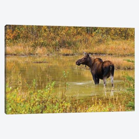 Canada, Alberta, Kananaskis Country. Female moose in pond. Canvas Print #JYG406} by Jaynes Gallery Canvas Wall Art