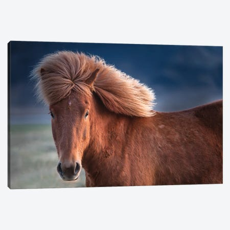 Iceland. Icelandic horse in sunset light I Canvas Print #JYG40} by Jaynes Gallery Canvas Artwork