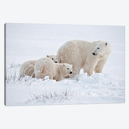 Canada, Manitoba, Churchill. Polar bear mother and cubs on frozen tundra. Canvas Print #JYG415} by Jaynes Gallery Canvas Print