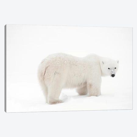 Canada, Manitoba, Churchill. Polar bear on frozen tundra. Canvas Print #JYG416} by Jaynes Gallery Canvas Print