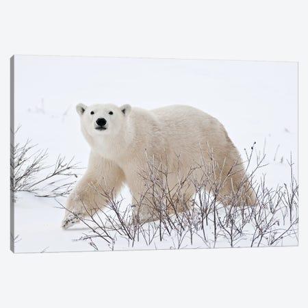 Canada, Manitoba, Churchill. Polar bear on frozen tundra. Canvas Print #JYG417} by Jaynes Gallery Canvas Art Print