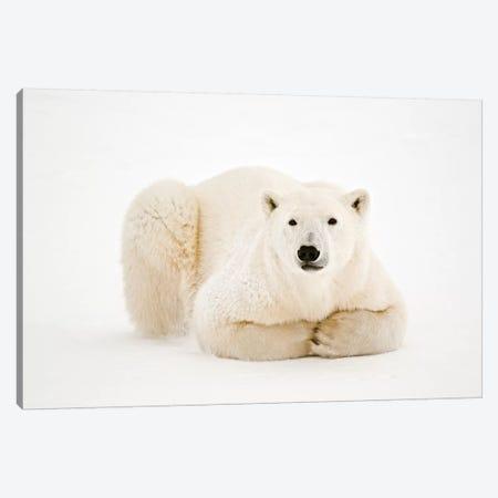 Canada, Manitoba, Churchill. Polar Bear on Hudson Bay ice. Canvas Print #JYG418} by Jaynes Gallery Canvas Artwork