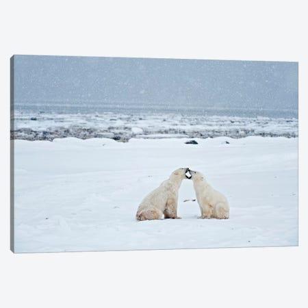 Canada, Manitoba, Churchill. Polar bears on frozen tundra. Canvas Print #JYG419} by Jaynes Gallery Canvas Wall Art
