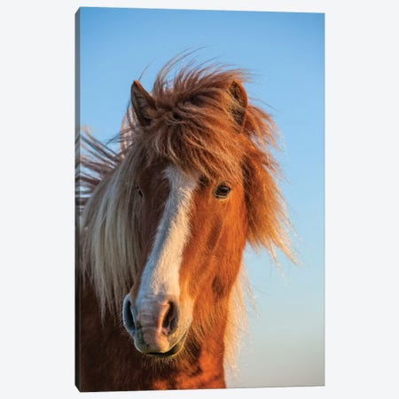 Iceland. Icelandic horse in sunset light II Canvas Print #JYG41} by Jaynes Gallery Canvas Art