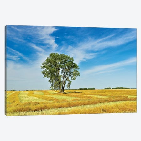 Canada, Manitoba, Dugald. Cottonwood tree in canola crop field. Canvas Print #JYG420} by Jaynes Gallery Canvas Art Print