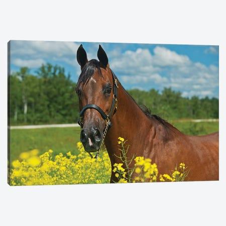 Canada, Manitoba, Grosse Isle. Arabian horse in canola field. Canvas Print #JYG422} by Jaynes Gallery Canvas Art Print