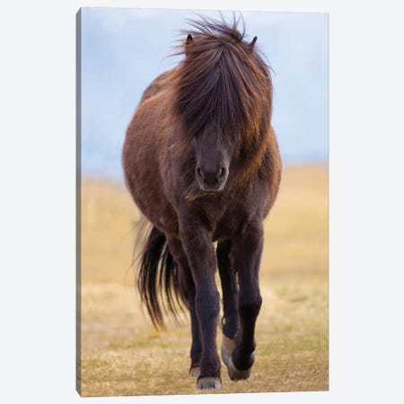 Iceland. Icelandic horse in sunset light III Canvas Print #JYG42} by Jaynes Gallery Canvas Wall Art