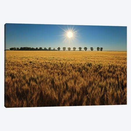 Canada, Manitoba, Starbuck. Sunrise on wheat crop. Canvas Print #JYG431} by Jaynes Gallery Canvas Wall Art