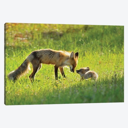 Canada, Manitoba, Whiteshell Provincial Park. Red fox mother with kit. Canvas Print #JYG436} by Jaynes Gallery Canvas Print