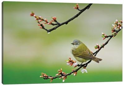 Canada, Manitoba, Winnipeg. Tennessee warbler in Nanking cherry shrub. Canvas Art Print