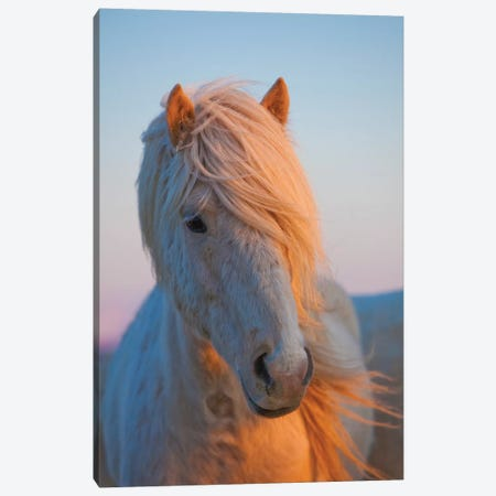 Iceland. Icelandic horse in sunset light V Canvas Print #JYG44} by Jaynes Gallery Canvas Print