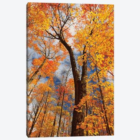 Canada, Ontario, Fairbank Provincial Park. Sugar maple trees in autumn. Canvas Print #JYG459} by Jaynes Gallery Canvas Art