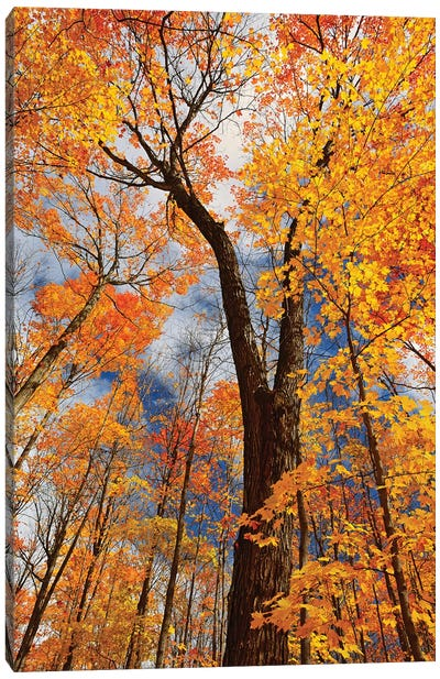 Canada, Ontario, Fairbank Provincial Park. Sugar maple trees in autumn. Canvas Art Print